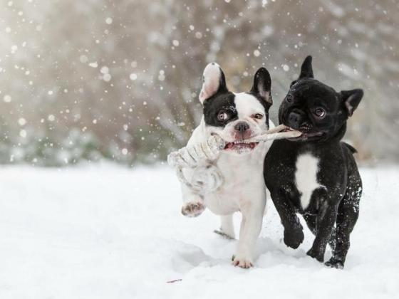 1280-dogs-playing-snow