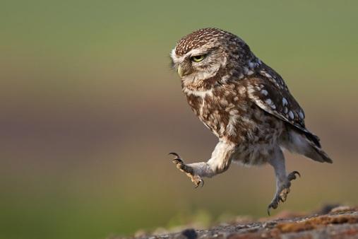 owl-in-the-run