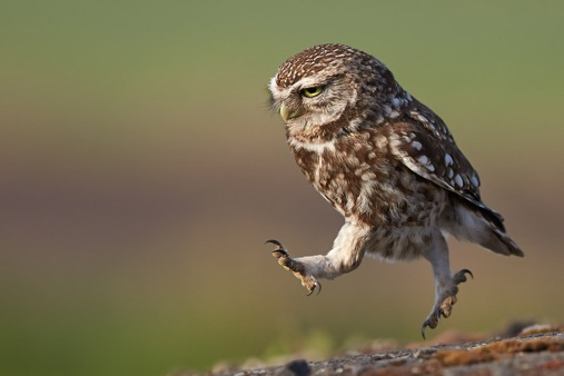 owl-in-the-run